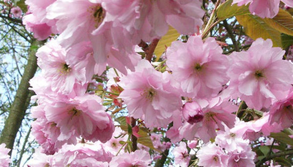 53C_CherryKwazanBlossom.jpg
