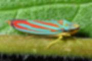 80E_Leafhopper.jpg