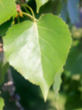 40B_BalsamPoplar.jpg