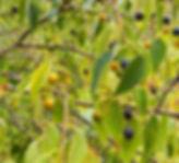 65B_HackberryBerries.jpg