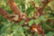 8C_paperbark-maple.jpg