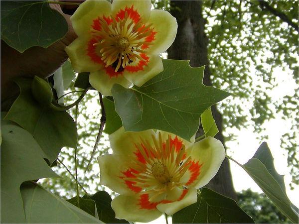 109B_TulipPoplar.jpg