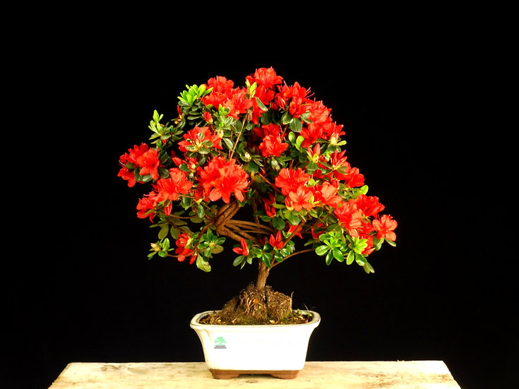 Azalea -Rhododendron