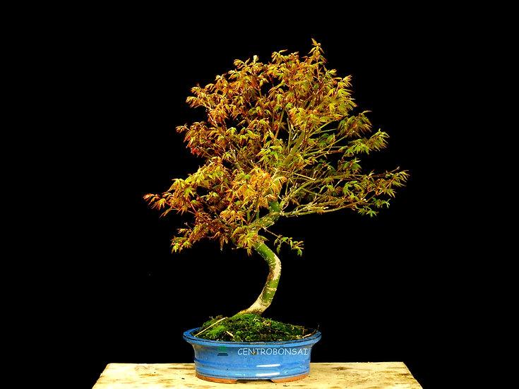 Arce Palmeado - Acer Palmatum