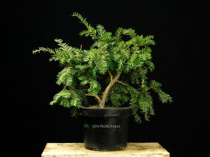 Tejo - Taxus Baccata