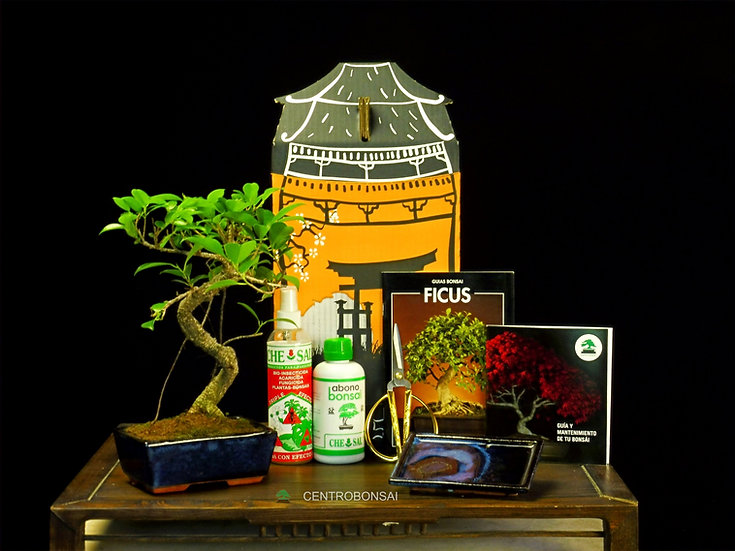 Pack Regalo Ficus Retusa Tiger Bark 9 años