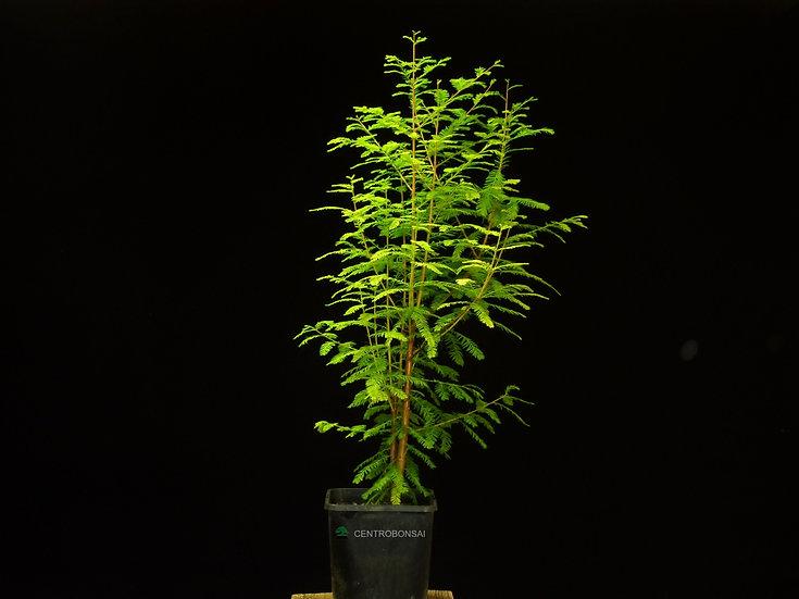 Ciprés de los Pantanos - Taxodium Distichum