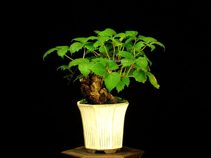 Parra Virgen - Parthenocissus Tricuspidata