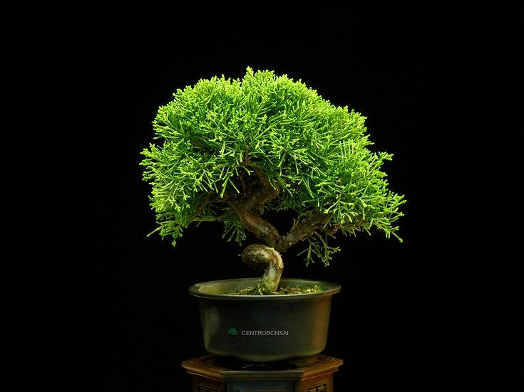Enebro - Juniperus Chinensis Itoigawa