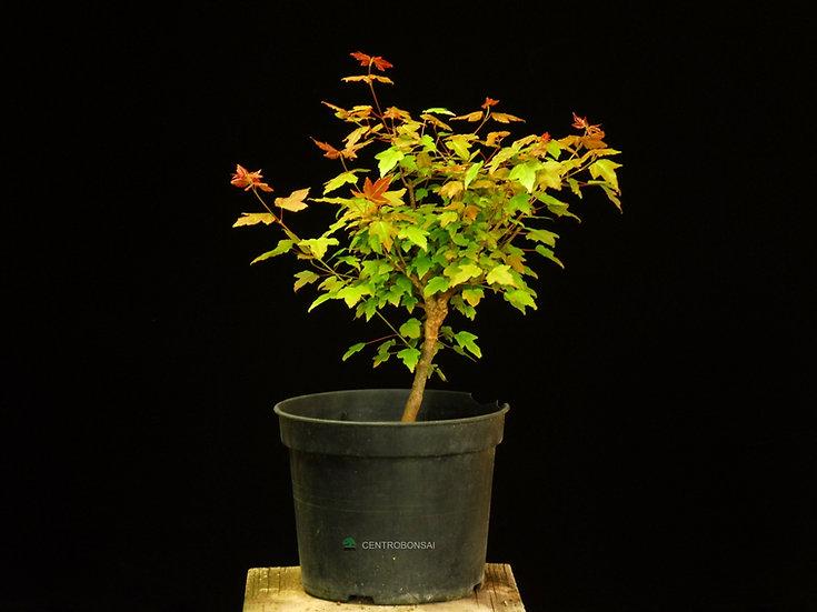 Tridende - Acer Buergerianum