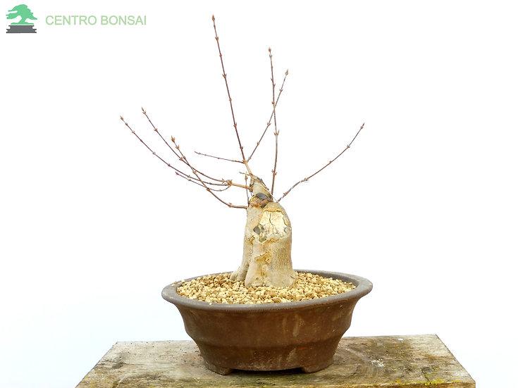 Arce Tridende - Acer Buergerianum