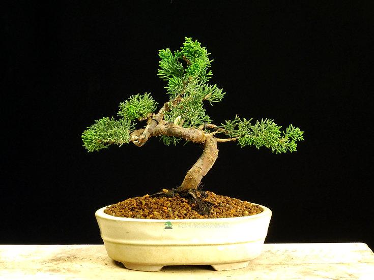 Enebro Chino - Junípero Chinensis