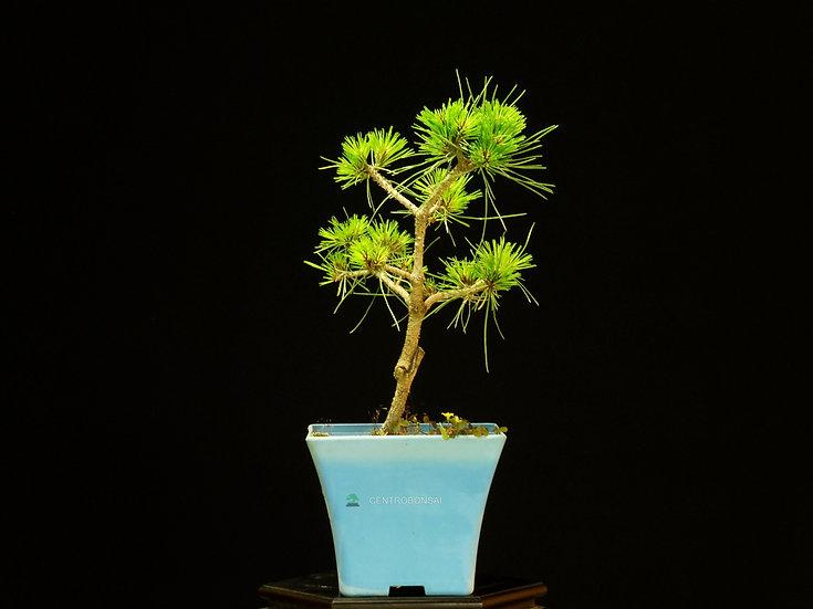 Pino Negro Austriaco - Pinus Nigra Marie