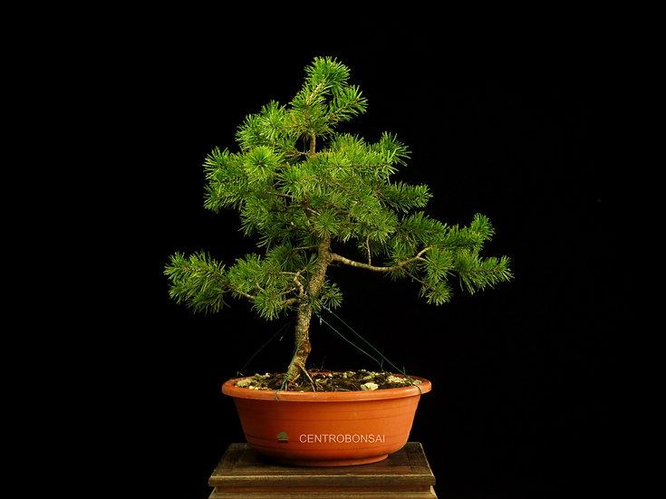 Pino Silvestre - Pinus Sylvestris