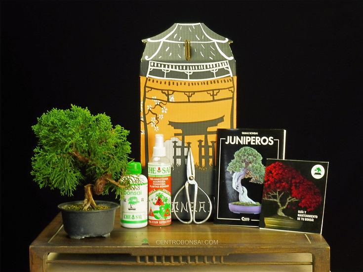 Pack Regalo Juniperus Itoigawa Japones 16 años