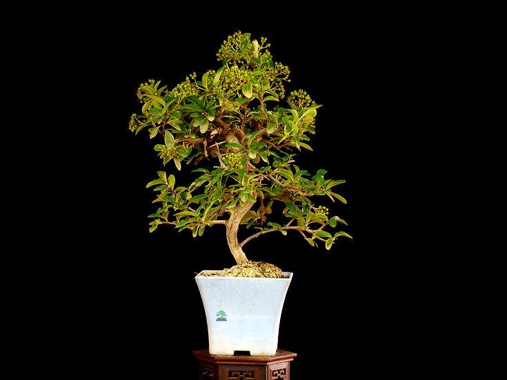 Piracanta - Pyracantha coccinea