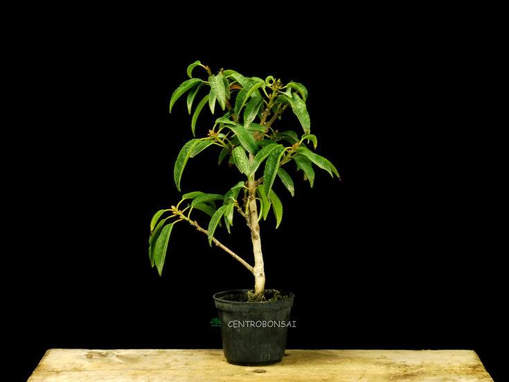 Laurel de Portugal - Prunus Lusitanica