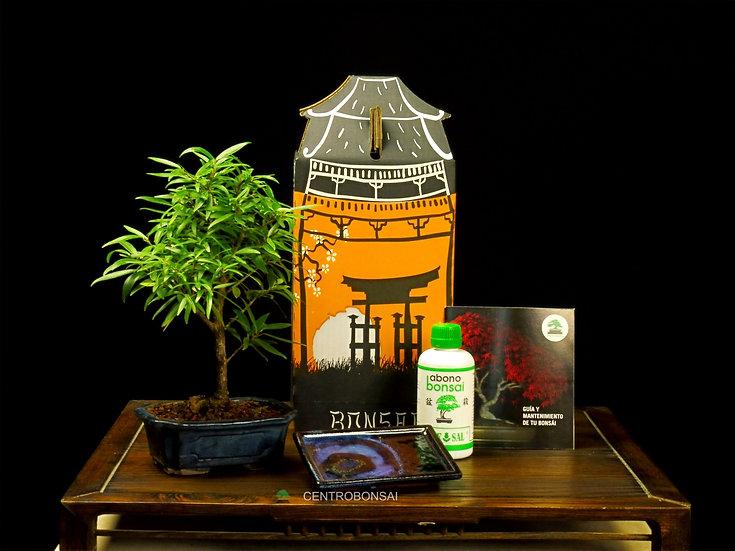 Pack Regalo Ficus Nerifolia 6 años