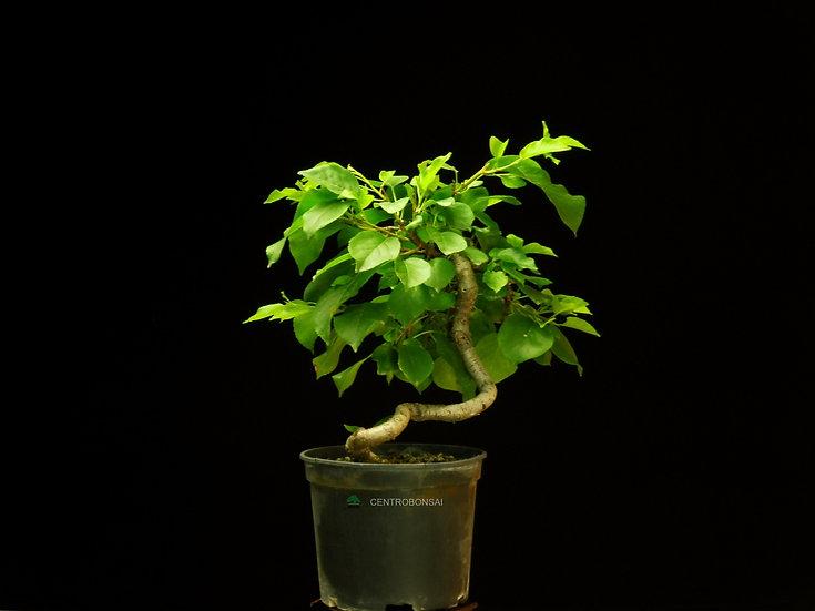 Cerezo de Santa Lucía - Prunus Mahaleb