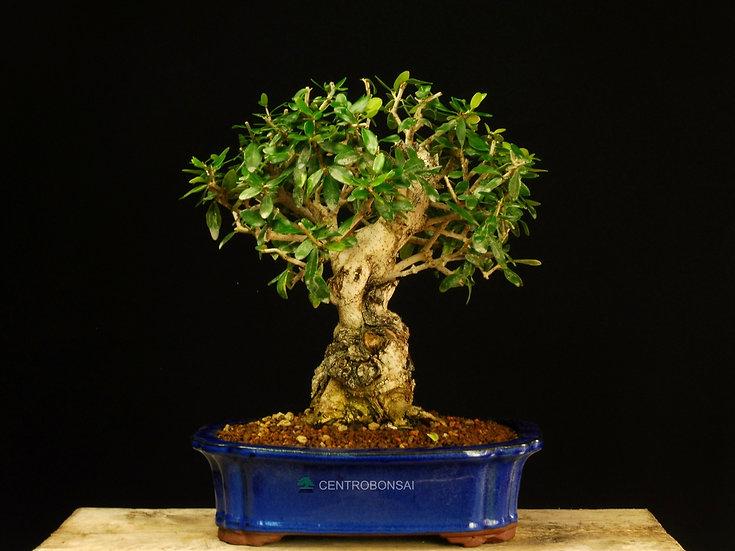 Olivo Silvestre