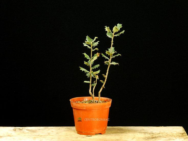 Encina - Quercus Ilex