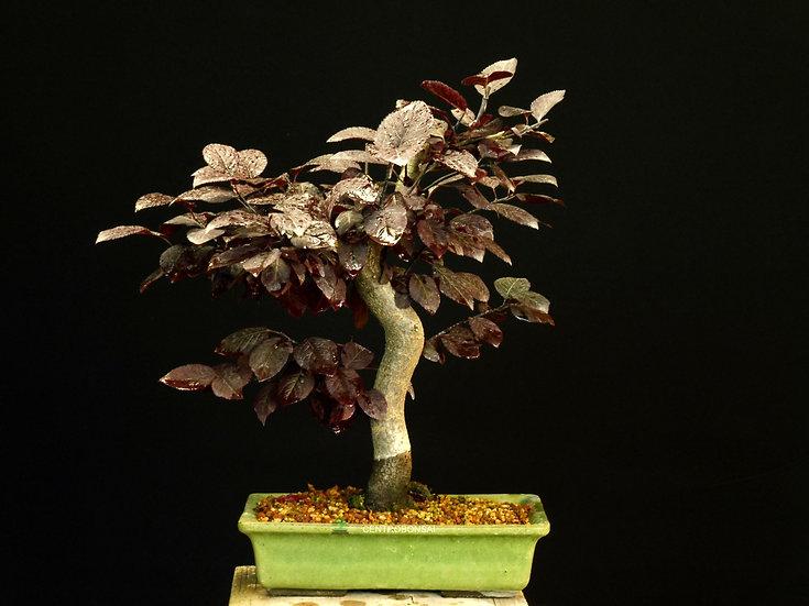 Ciruelo - Prunus Pisardi