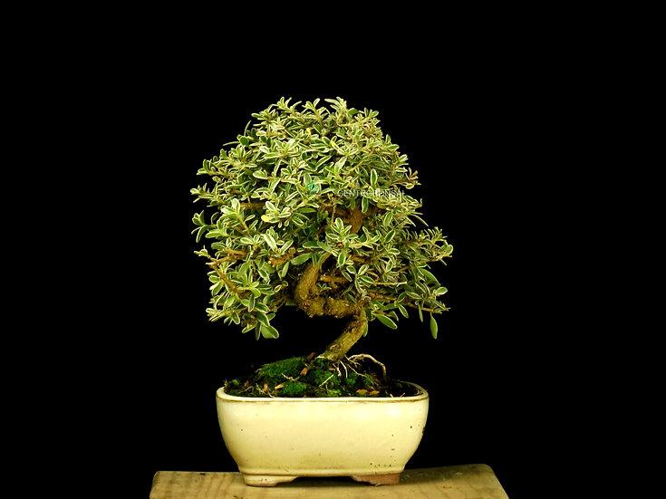 Coprosma - Planta Espejo