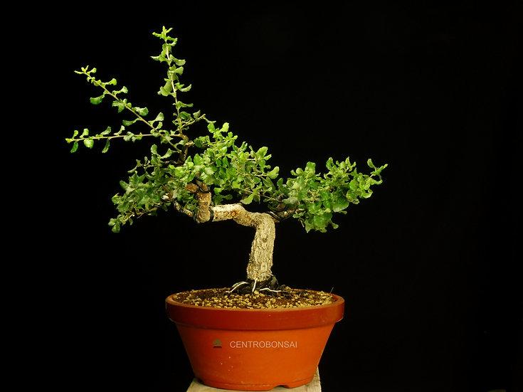 Alcornoque - Quercus Suber