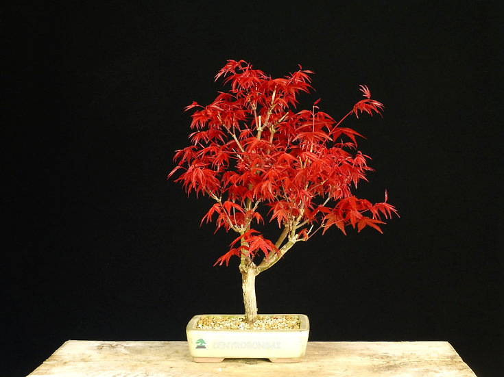 Arce Palmeado Deshojo - Acer Palmatum Deshojo