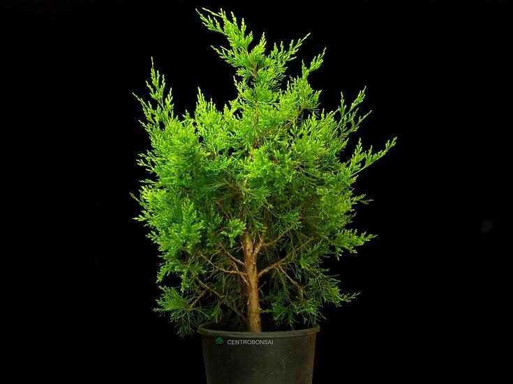 Sabina de Virginia - Juniperus Virginiana (Helle)