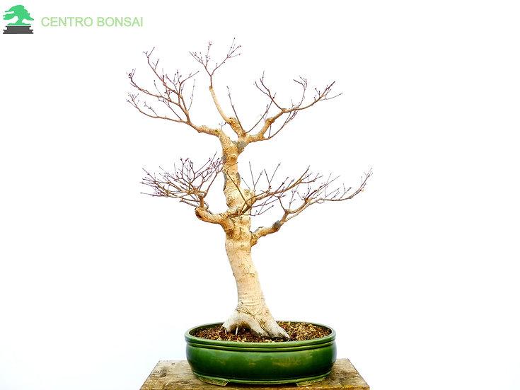 Arce Palmeado - Acer Palmatum Yamamomiji
