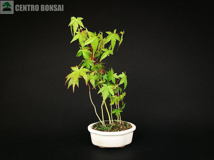 Bosque Arce Palmeado - Acer Palmatum