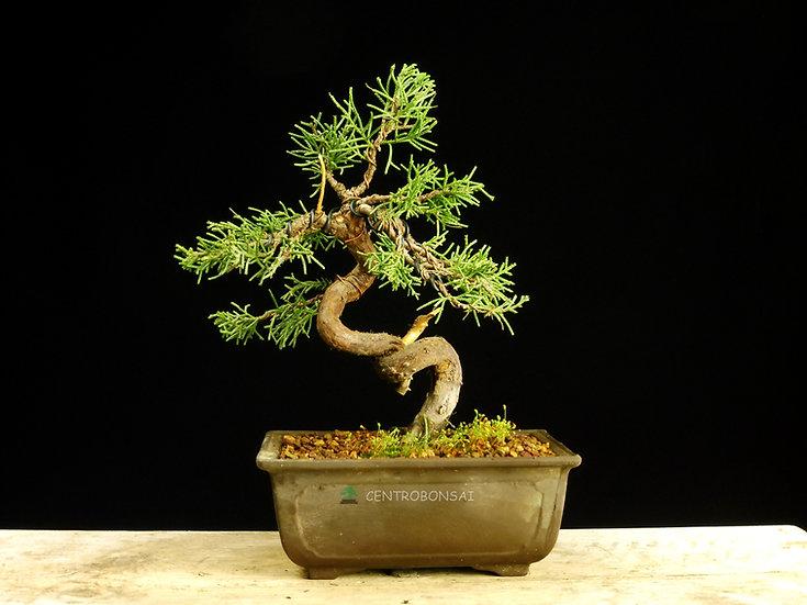 Enebro Chino - Juniperus Chinensis Itoigawa