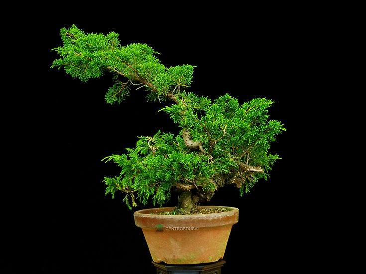 Enebro - Juniperus Chinensis