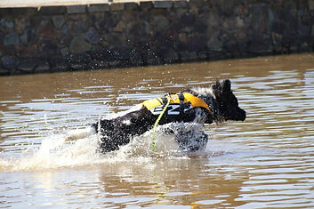 water rescue, newfoundland, dog, puppies
