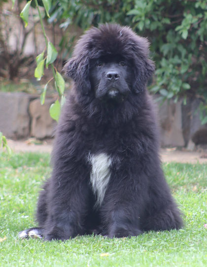 puppy, newfoundland, re-homing, rescue, water rescue