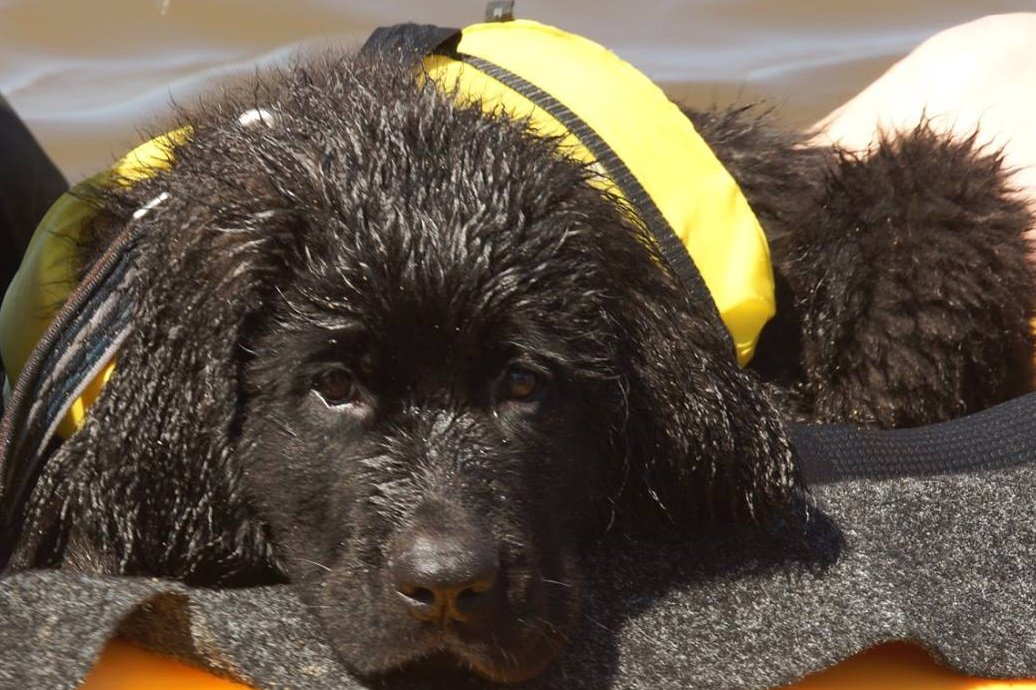 cute, water rescue, newfoundland, dogs