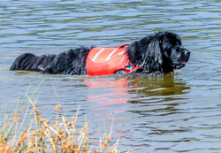 puppies, newfoundland, dogs, water rescue