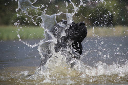 puppies, newfoundlandm water rescue, training