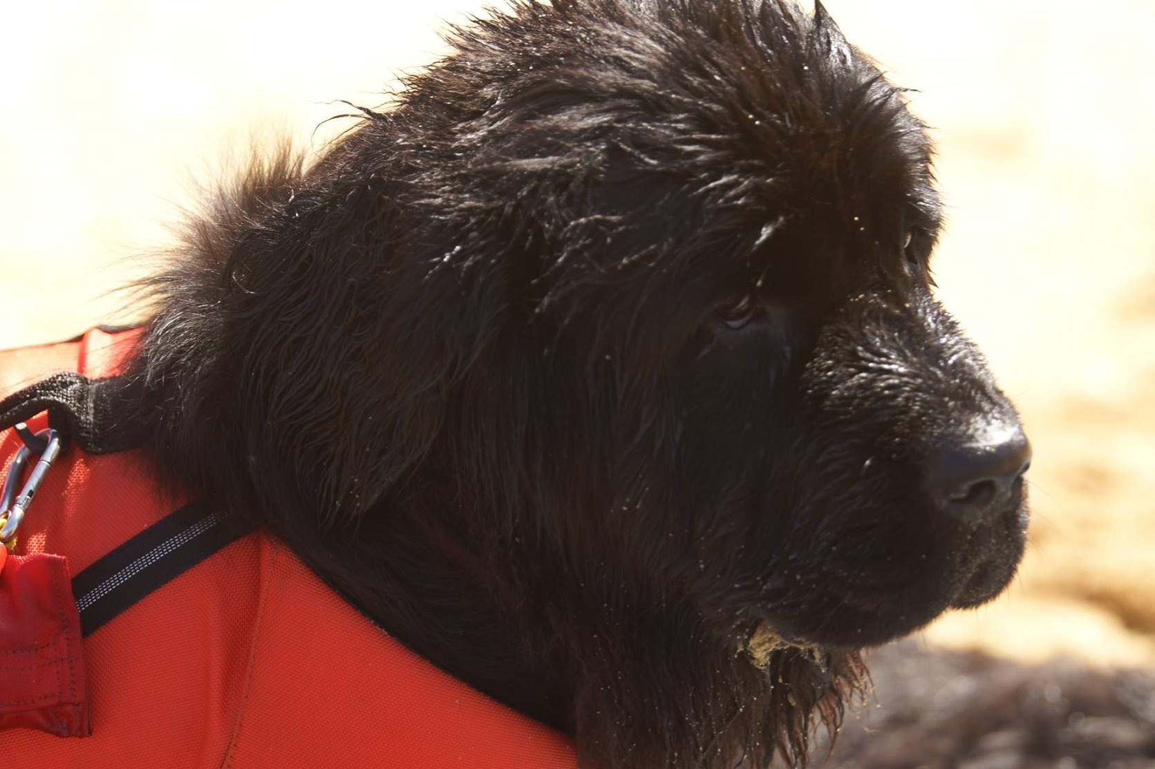 puppies, newfoundland, dogs, breeders