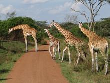 Giraffe Uganda game park 2019