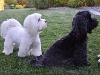 Update Yourself by Reading about the Havanese!!!