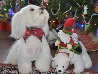All Groomed and Ready for Santa Paws!