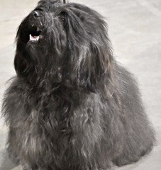 Do you have a Havanese who is highly anxious and exhibits fear or aggression and/or separation anxie
