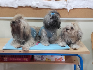 Havanese Therapy Dogs in Schools in Croatia