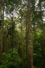Kauri trees in Kauri Glen reserve.png