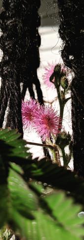 Sensitive Plant Bloom