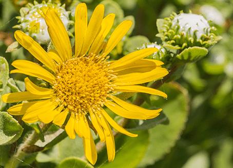 La grindelia, una planta con propiedades curativas