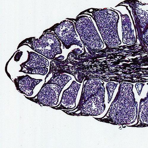 Pine Mature Staminate Cone, l.s., 12 µm Microscope Slide