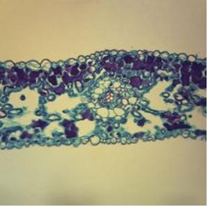 Ginko Leaf, c.s., 12 µm Microscope Slide